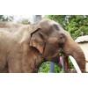 Самый дорогой кофе в мире делают тайские слоны